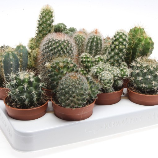 Cacti MIX (Eurocactus)