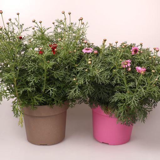 Argyranthemum frutescens GRANDAISY MIX (De Bruyne - Flandresse)