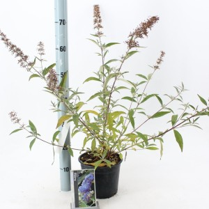 Buddleja 'Lochinch' (About Plants Zundert BV)