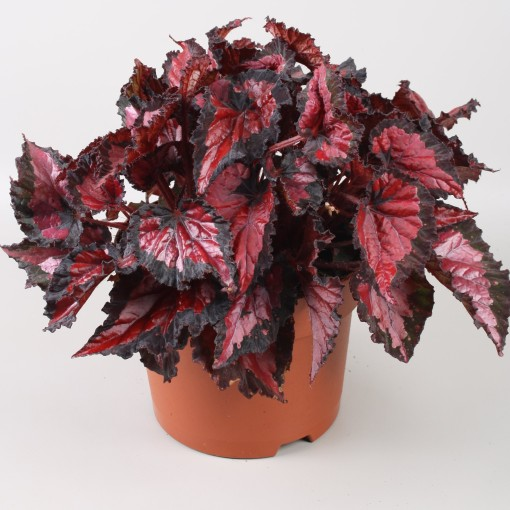 Begonia BELEAF INCA NIGHT (Berghoef Plants)