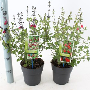 Salvia microphylla MIX