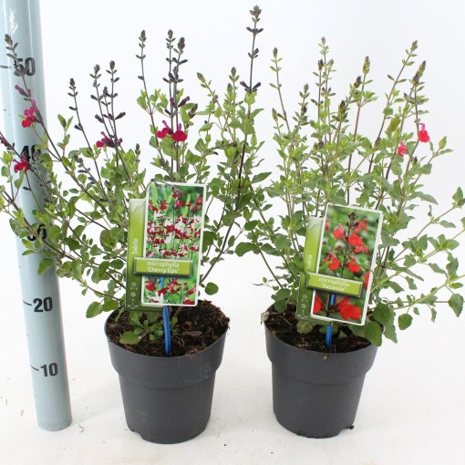 Salvia microphylla MIX (About Plants Zundert BV)