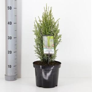 Juniperus communis 'Compressa' (Bremmer Boomkwekerijen)