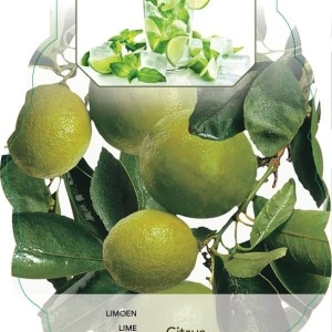 Citrus x aurantiifolia 'Lime Verde' (BOGREEN Outdoor Plants)