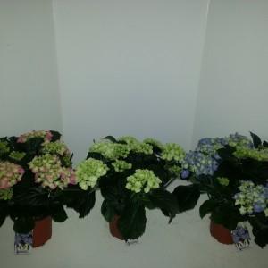 Hydrangea macrophylla MIX (Meeslouwer)