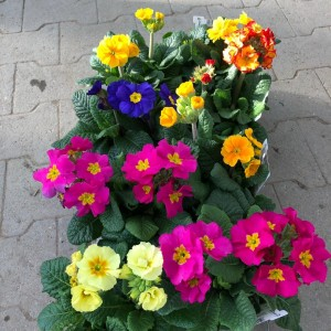 Primula INARA MIX (Experts in Green)
