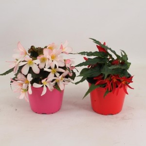 Begonia WATERFALL MIX (Amstelzicht BV)