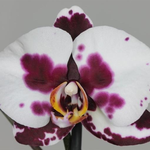 Phalaenopsis POLKA DOTS (Leerdam Orchideeën)