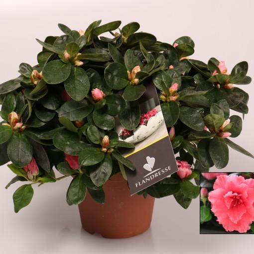Rhododendron 'Vogel Luntera' (FlorAmor)