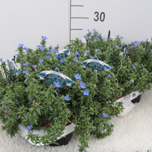 Lithodora diffusa 'Heavenly Blue' (Experts in Green)