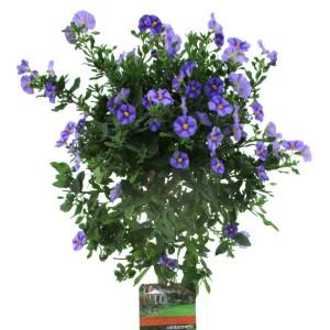 Solanum rantonnetii (Luiten kwekerij)