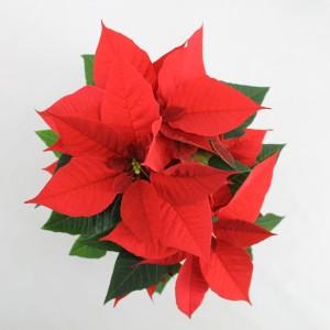 Euphorbia pulcherrima CHRISTMAS FEELINGS (Bas van der Wilt)
