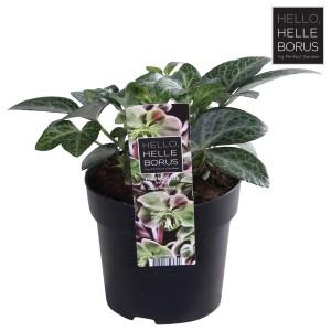 Helleborus lividus 'Lilac Marble'