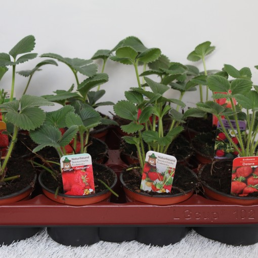 Fragaria x ananassa MIX (Experts in Green)