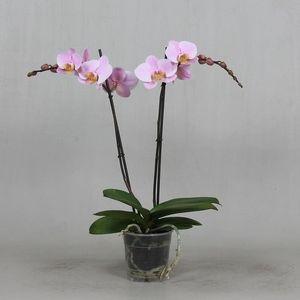 Phalaenopsis ANTHURA SALINAS (Leerdam Orchideeën)