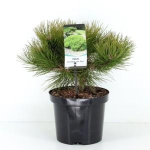 Pinus densiflora 'Low Glow'