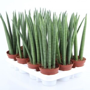 Sansevieria cylindrica (Experts in Green)