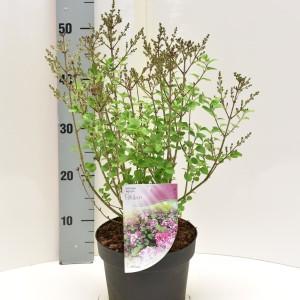 Syringa meyeri 'Palibin' (Dool Botanic)