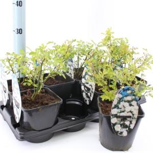 Rosa SPELAROSA CRYSTAL FAIRY (About Plants Zundert BV)