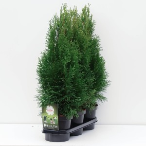 Thuja occidentalis 'Smaragd'