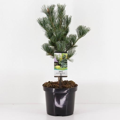 Pinus parviflora 'Glauca' (Bremmer Boomkwekerijen)