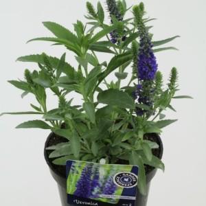 Veronica spicata INSPIRE BLUE