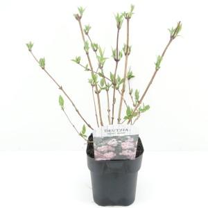 Deutzia x hybrida 'Mont Rose' (Hooftman boomkwekerij)