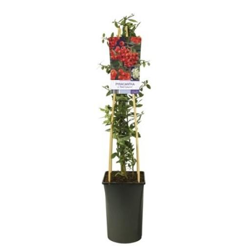 Pyracantha coccinea 'Red Column' (Van Der Starre BV)