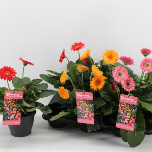 Gerbera GARVINEA MIX