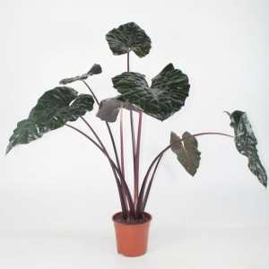 Alocasia 'Yucatan Princess' (Ammerlaan, The Green Innovater)
