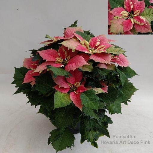 Euphorbia pulcherrima HOVARIA ART DECO PINK (Hofstede Hovaria)