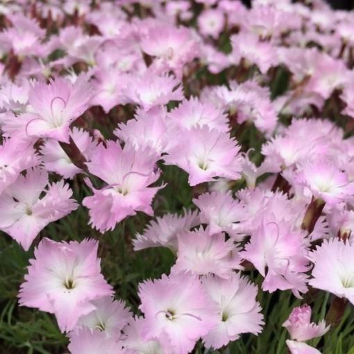 Dianthus 'Whatfield Wisp' (Leeuw-den Engelsen)