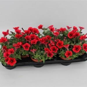 Petunia FAMOUS RED (Gebr. Grootscholten)