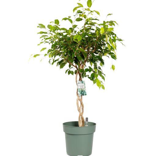 Ficus benjamina 'Exotica' (MDK Plants)