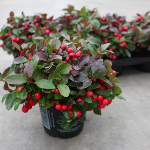Gaultheria procumbens 'Red Baron' (Experts in Green)