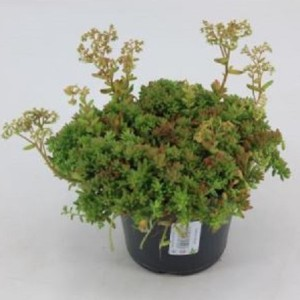 Sedum album 'Coral Carpet' (Experts in Green)