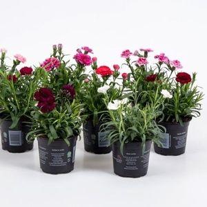 Dianthus OSCAR MIX