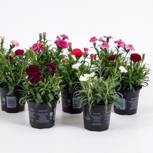 Dianthus OSCAR MIX (Gasa DK)
