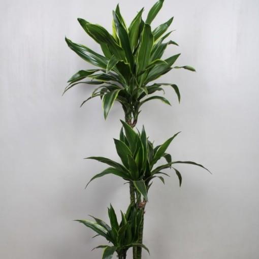 Dracaena fragrans 'Arturo' (Vireõ Plant Sales)
