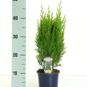 Chamaecyparis lawsoniana 'Green Pillar' (Kwekerij Vredebest)