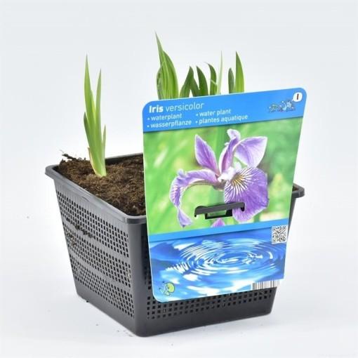 Iris versicolor (Moerings Waterplanten)