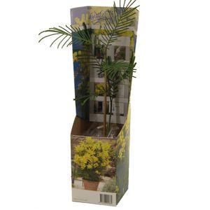 Acacia paradoxa (Van der Valk bv)