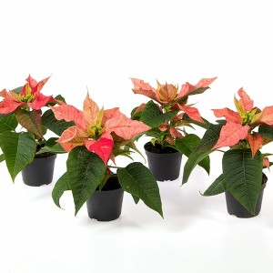 Euphorbia pulcherrima CHRISTMAS FEELINGS PINK (Gasa DK)