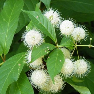 Cephalanthus occidentalis (About Plants Zundert BV)