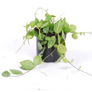 Dischidia ovata (Van der Arend Tropical Plantcenter)