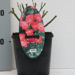 Rosa PINK BLANKET