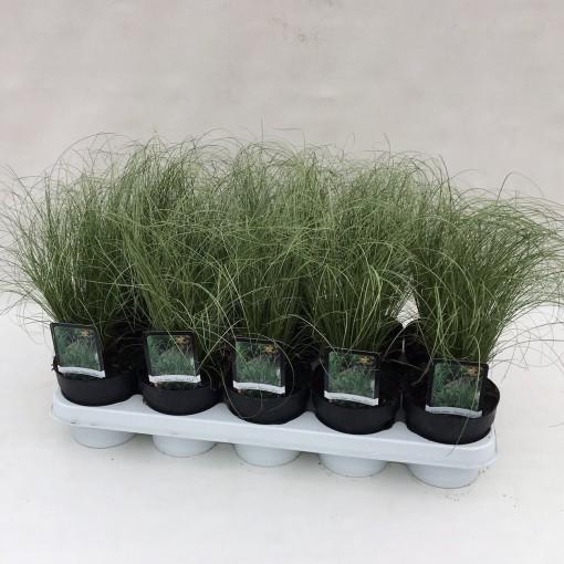 Carex comans AMAZON MIST (Liesvelden Kwekerij)