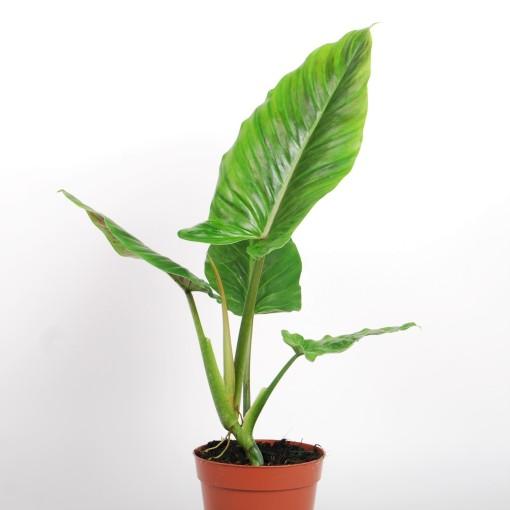 Philodendron subhastatum (Van der Arend Tropical Plantcenter)