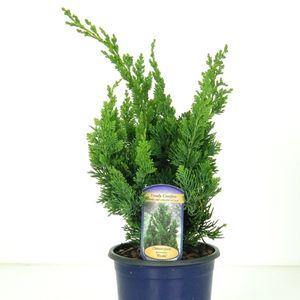 Chamaecyparis lawsoniana 'Wisselii' (Kwekerij Vredebest)