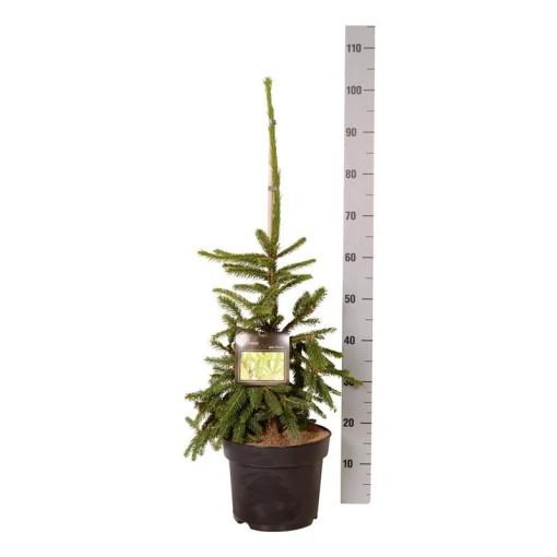 Picea abies 'Inversa' (Boomkamp Boomkwekerijen B.V.)